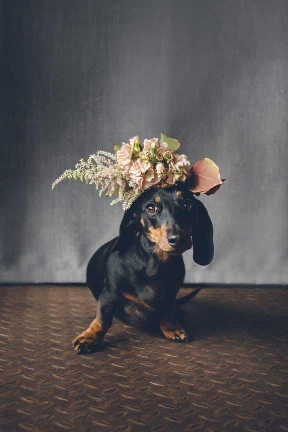 10 Adorable Hounds in Crowns